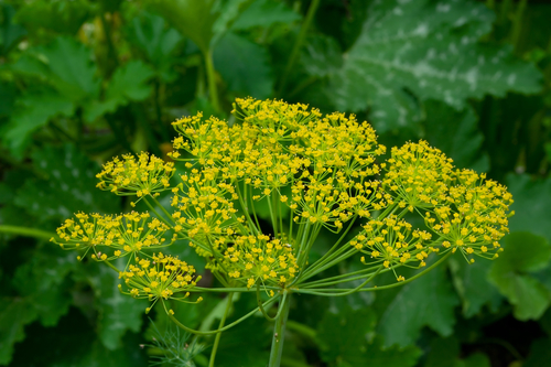 yellow-green dill closeup in a garden