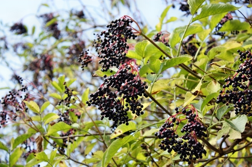 Growing wild elderberries medicinal garden