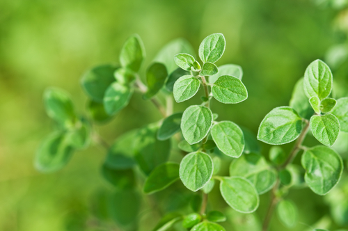 fresh green oregano close up